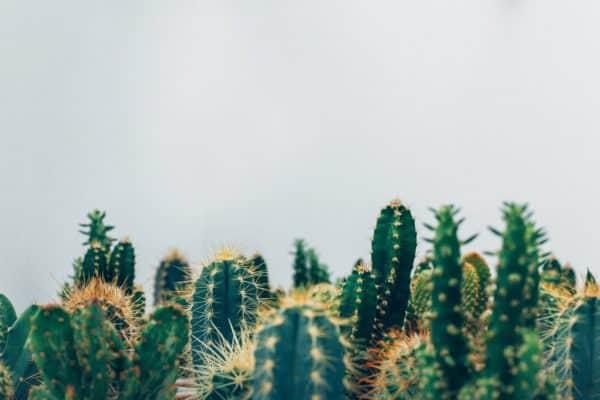 Spikey cactus
